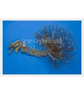 Sabellastarte sp. - Feather Duster - Indian Ocean