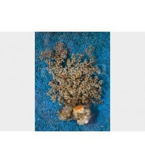 Acalycigorgia sp. - Blue Polyp Gorgonia