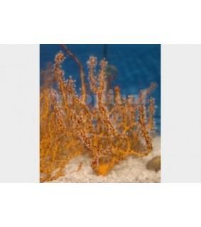 Lophogorgia nodulifera - Finger Gorgonia - Yellow