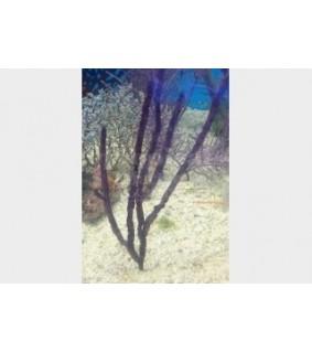 Pterogorgia anceps - Purple Ribbon Gorgonia