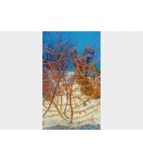 Swiftia exserta - Tree Gorgonia - Orange