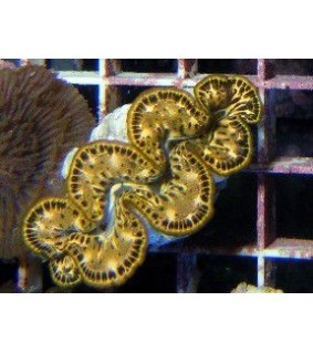 Tridacna Maxima Yellow/gold (2-4cm)
