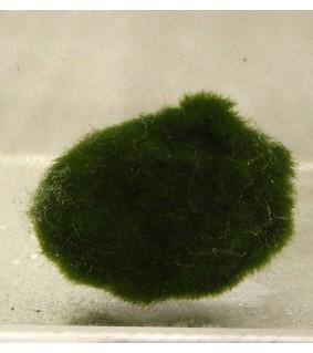 Chladophora nano