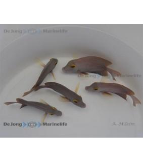 Ctenochaetus strigosus - Yellow Eye Tang - keltasilmävälskäri