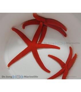 Linckia laevigata red - punainen meritähti