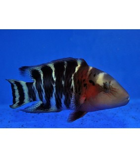Cheilinus fasciatus - Red-breasted wrasse