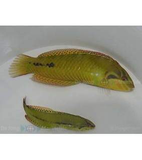 Novaculichthys macrolepidotus - Seagrass Wrasse