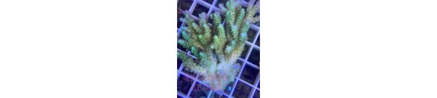 WYSIWYG korallit